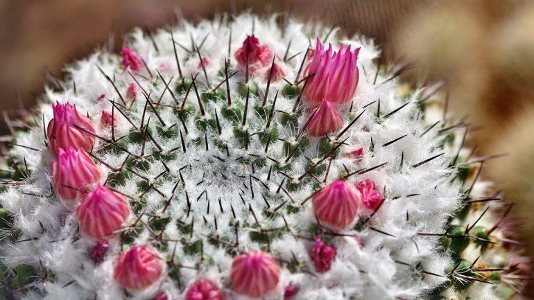 Ako dosiahnuť, aby kaktusy zakvitli?