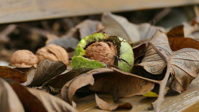 Po zbere orechov: Ako ich správne sušiť a skladovať?
