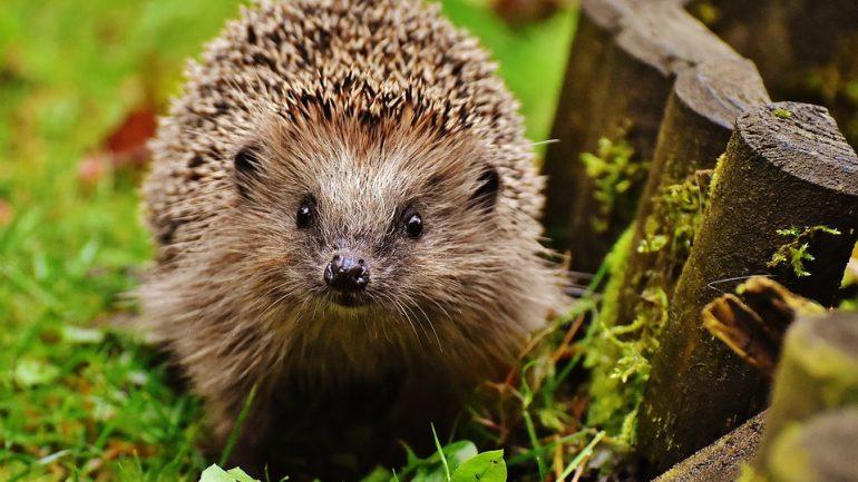 Užitočný ježko: Ako ho prilákať do záhrady?