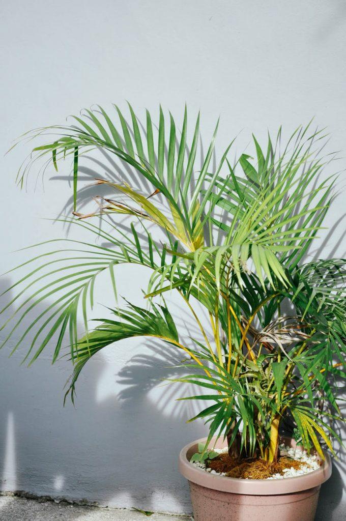 izbová palma