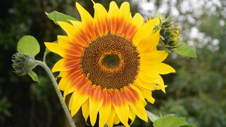 Nektár zo slnečnice vytvára svetlý, žltobiely med.