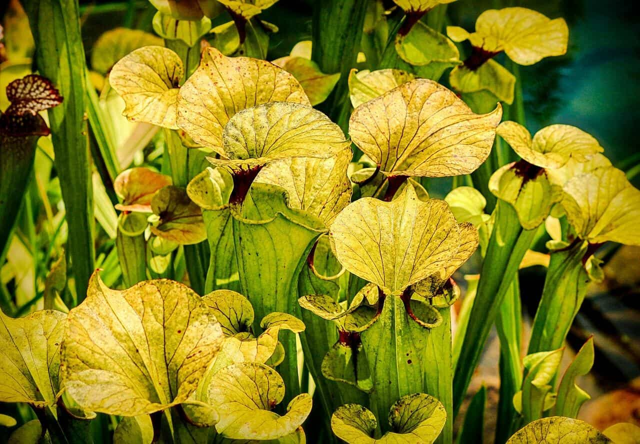 mäsožravé rastliny