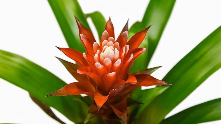 Bromélie – moderné izbové rastliny,  vyberte si ten správny druh pre vás