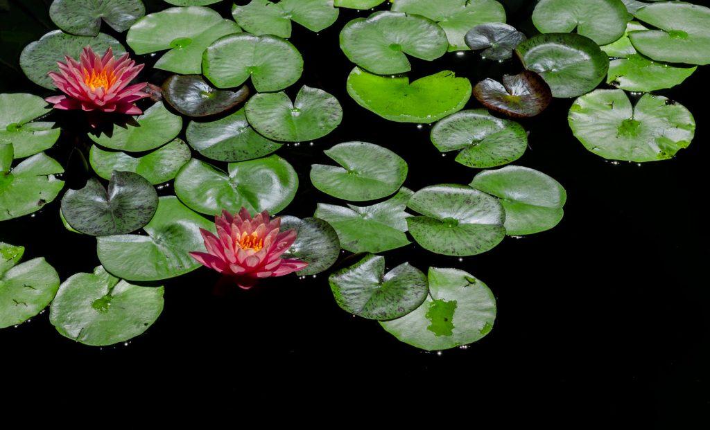 rastliny v jazierku