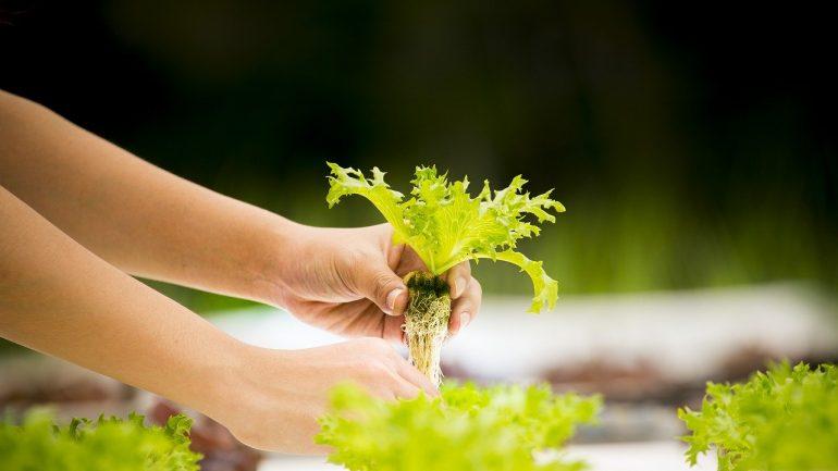 hydroponics-4684821_1280