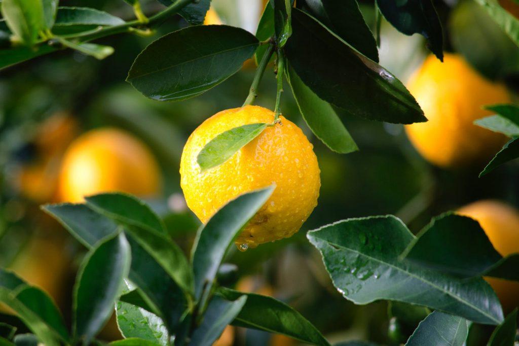 citrónovník