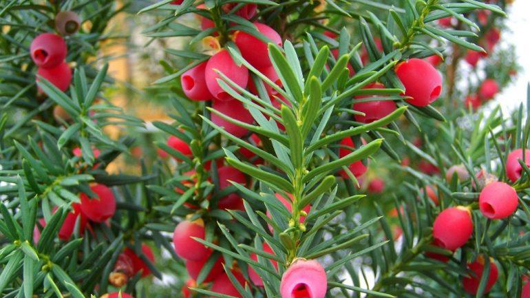 3 vianočné exteriérové rastliny