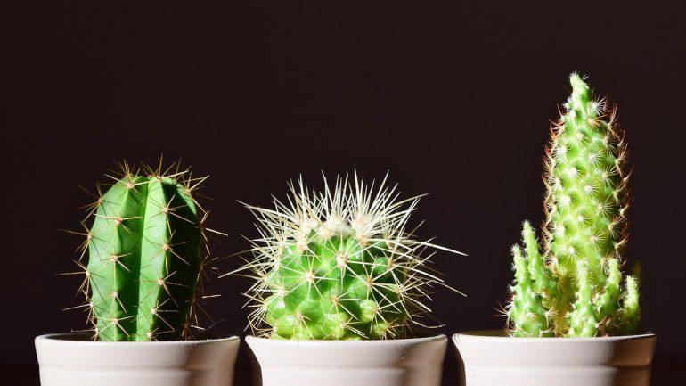 Ako pestovať kaktusy zo semien