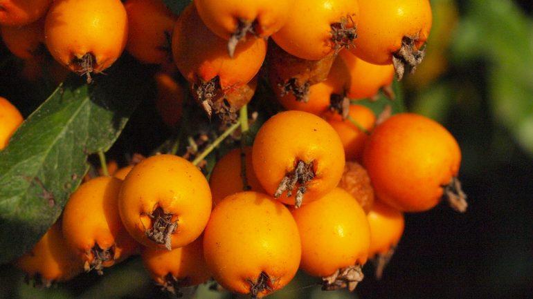 Oskoruša: Vzácny strom našich záhrad
