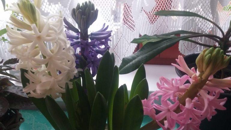 Rýchlenie jarných kvetov: Takto vám budú kvitnúť, kedy chcete