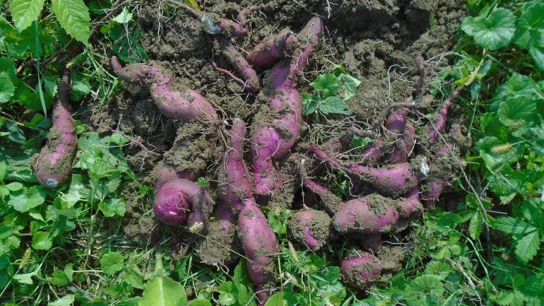 5 výhod pestovania batátov