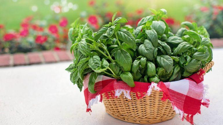 Čo vieme o pestovaní bazalky a jej využití?
