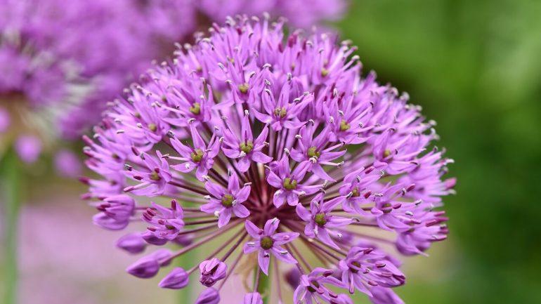 Pestujeme okrasný cesnak: 7 zásad, ktoré treba vedieť