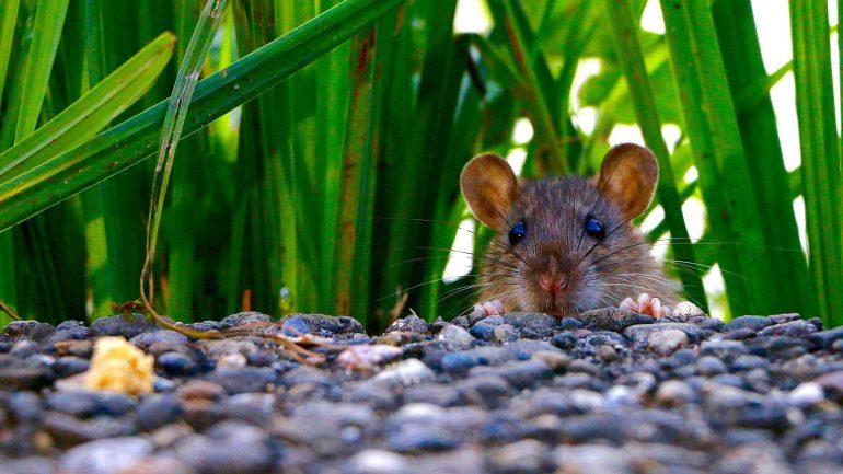 6 tipov, ako sa zbaviť potkanov, časť I.