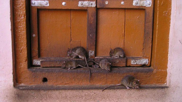 6 tipov, ako sa zbaviť potkanov, časť II.