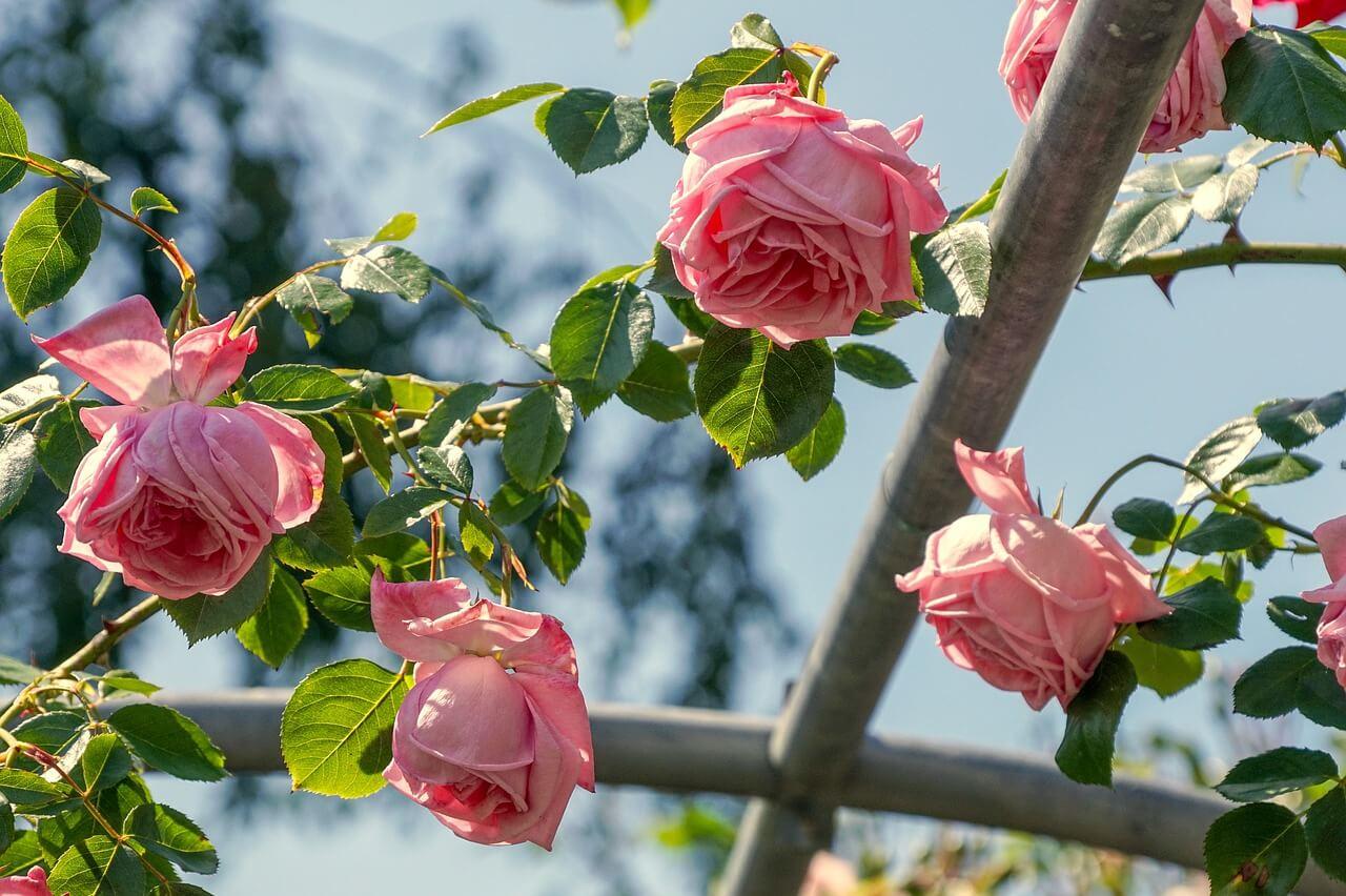 rez ruží