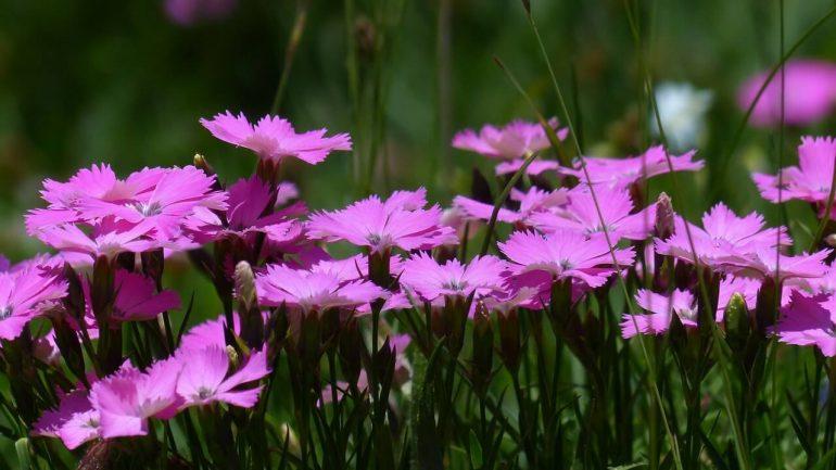 Lúčne kvety z našich záhrad. Prečo sú pre nás užitočné?
