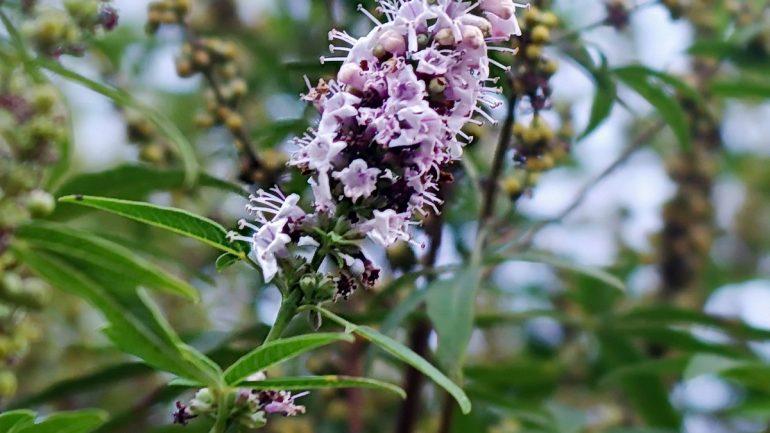 Rastliny z Chorvátska, viete o ich liečivých účinkoch?