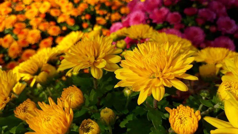 Čo potrebujú vaše chryzantémy? Pozor na tieto choroby