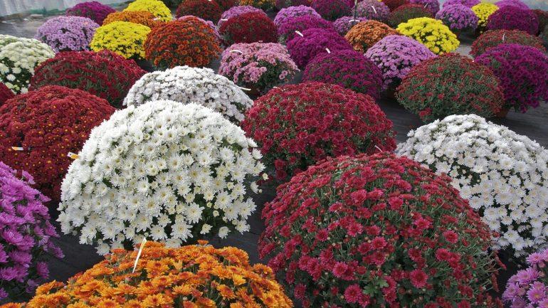 Ako podporiť bohaté kvitnutie chryzantém