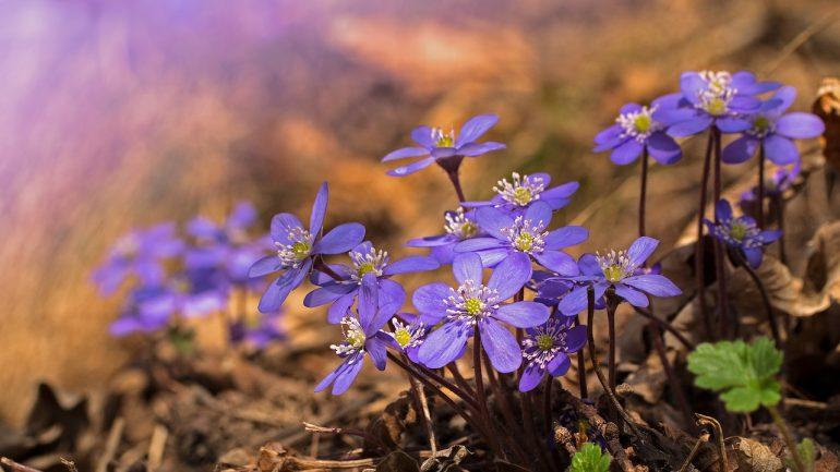 Pečeňovník: Prečo pestovať tento vzácny kvet?