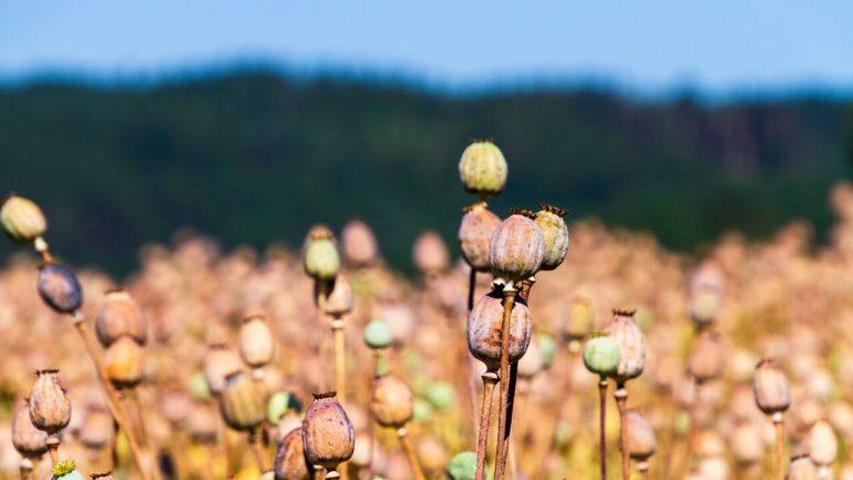 Manuál pestovania maku: Spoznajte tisícročnú tradíciu
