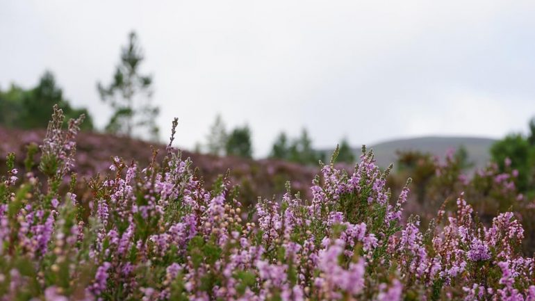 Klenoty škótskych kvetov, ktoré máte aj vo svojej záhrade