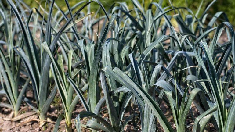 Podceňovaný pór: Výhody jeho pestovania, o ktorých sa oplatí vedieť