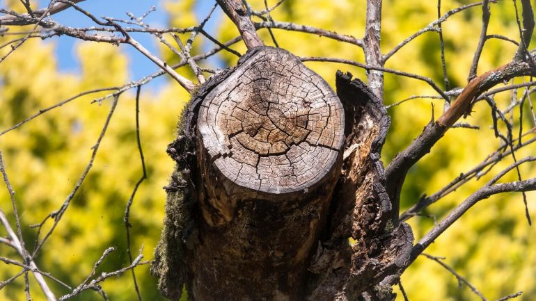 Ako odrezať staré konáre ovocných stromov