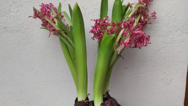 Odkvitnutý hyacint v kvetináči: Čo robiť, aby zakvitol o rok