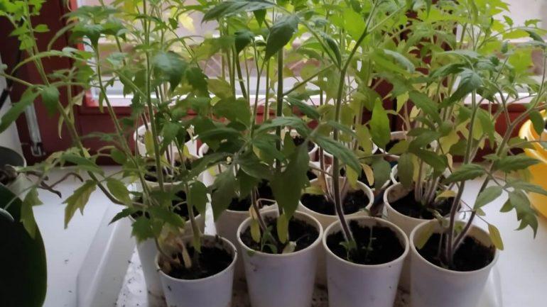 Ako sadiť paradajky, aby ste mali bohatú úrodu