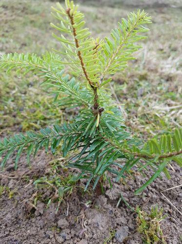 Sadenie vianočného stromčeka