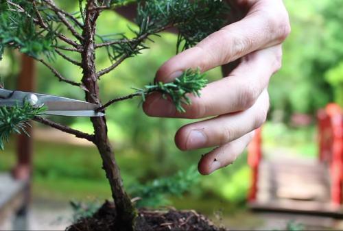Ako si urobiť bonsaj z tuje