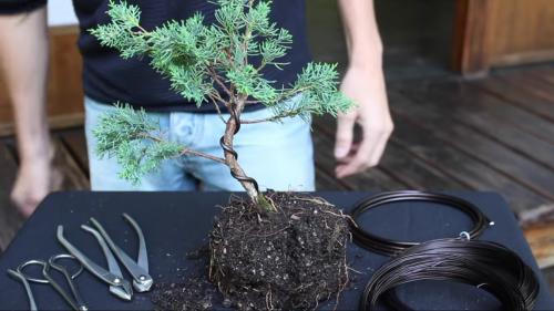 Ako si urobiť bonsaj z jedličky alebo tuje
