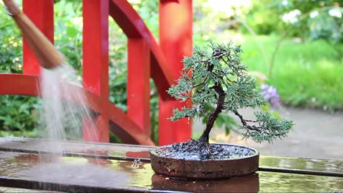 Ako si urobiť bonsaj z jedličky