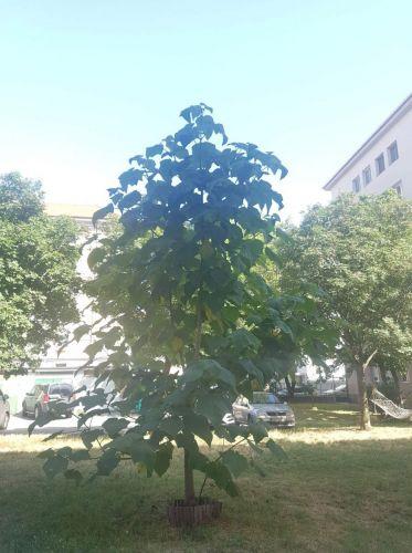 Ako pestovať najrýchlejšie rastúci strom na svete