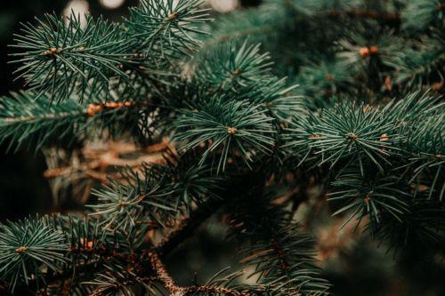 vetvičky vianočného stromčeka
