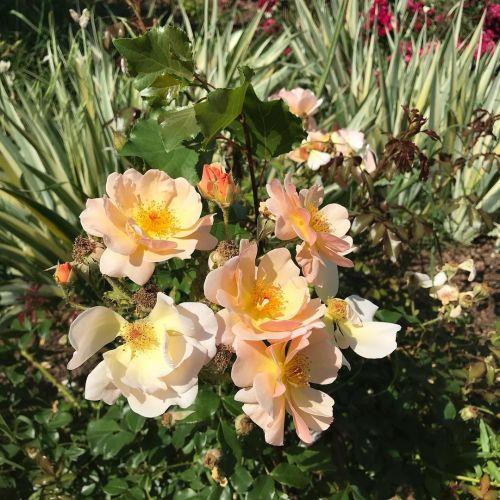 Záhradná ruža