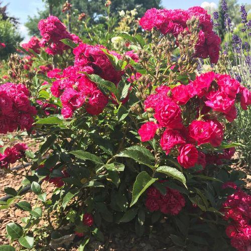 Ruža veľkokvetá - Floribunda červená