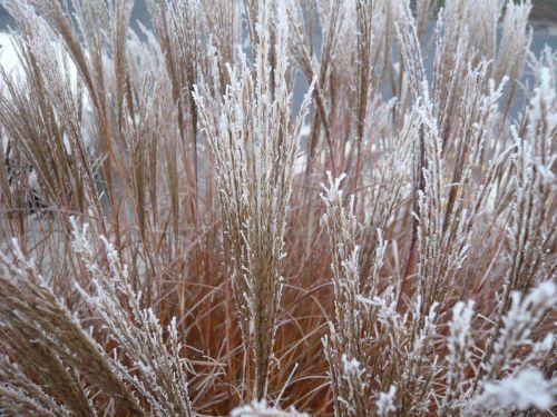 okrasné trávy